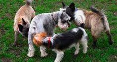 Familia Basset Hound: Por que cães cheiram o rabo uns dos outros?