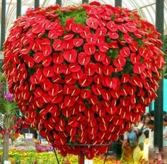.Anthuriums. -Wow!