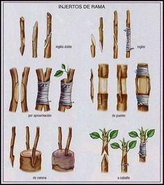 Organic Gardening Tips For Beginners Grafting Fruit Trees, Grafting Plants, Bonsai Garden, Garden Trees, Garden Plants, Fruit Garden, Edible Garden, Organic Gardening, Gardening Tips