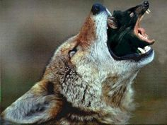 wolfrat.