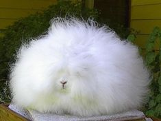 This fluffy ball is actually a rabbit – the Angora rabbit from which the silky and soft Angora wool is harvested. The Angora rabbit is one. Angora Bunny, Angora Rabbit, Pet Rabbit, Lionhead Rabbit, Giant Rabbit, Fat Animals, Funny Animals, Crazy Animals, Fluffy Bunny