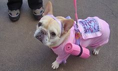 French Bulldog in Yoga Costume