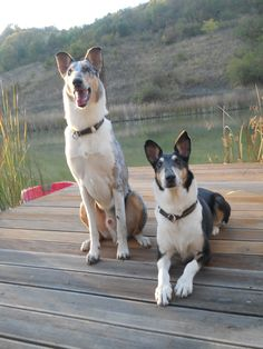 Smooth Collie, Rough Collie, Kinds Of Dogs, Border Collies, Mans Best Friend, Foxes, I Love Dogs, Dog Breeds, Animaux