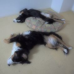 Bernese Mountain Dog, 2 of them. One is just not enough.