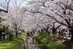 From here its just a short walk to the Ginkaku-ji temple (銀閣寺). The street is lined with some magnificent cherry trees!