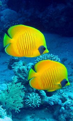 pictures of underwater sea life Colorful Fish, Tropical Fish, Red Sea Diving, Underwater Sea, Salt Water Fish, Butterfly Photos, Marine Fish, Beautiful Fish, Beautiful Places
