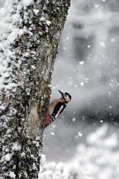 Greater Spotted Woodpecker in snow - we've got these. Never seen one in the snow… Snow Scenes, Winter Scenes, Pretty Birds, Beautiful Birds, Spotted Woodpecker, Photo Animaliere, Winter Magic, Winter's Tale, Winter Pictures