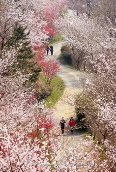 dream road☆ jinhae Korea spring