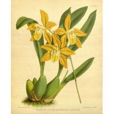 Odontoglossum Triumphans Aureum Orchid