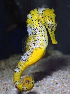 yellow spotted seahorse