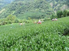 2014 Summer Oolong Tea @ Taiwan Mount Ali