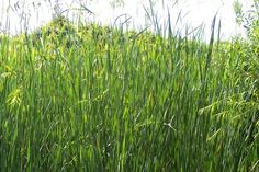 How to Get Rid of Timothy Grass From the Lawn | eHow