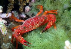 Red-Crab, Thailandia