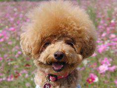 愛犬投稿:満開のコスモスをバックに、満面笑み 投稿者:ママ母さん