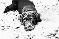 My cute and adoreble labrador bimmer