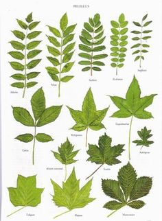 Just a few tree leaves Leave In, Nature Tree, Flowers Nature, Botanical Drawings, Botanical Prints, Trees And Shrubs, Trees To Plant, Tree Leaves, Plant Leaves