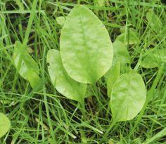 Piharatamo on laastarin lisäksi herkkuakin Spinach, Plant Leaves, Herbs, Vegetables, Plants, Herb, Vegetable Recipes, Plant, Veggies