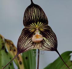 dracula bella orchids | ... grown species of Dracula are the D. bella , D. cordobae and D. bella