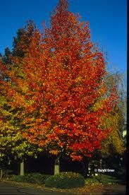 parrotia persica - Google Search - good for autumn colour