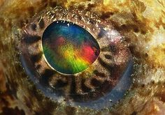 Eye of a cephalopod I believe