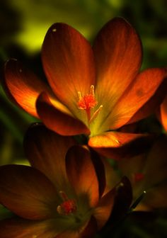 Freesia blossoms. Exotic Flowers, Amazing Flowers, Beautiful Flowers, Colorful Roses, Beautiful Gorgeous, Orange Flowers, Orange Color, Fire Flower, My Flower