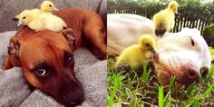 These Pit Bulls Just Wanted Their Own Baby Ducks Dog Stories, Baby Ducks, Pit Bulls, Cute Photos, Rescue Dogs, Pup, Animals, Spirit, Smile