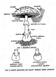 Znalezione obrazy dla zapytania grzyby-budowa