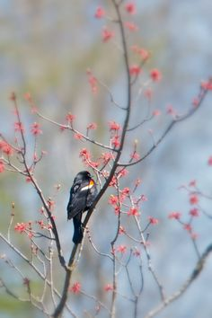 Red Winged Blackbird - The sing such a beautiful song that takes me back to when I was a child!