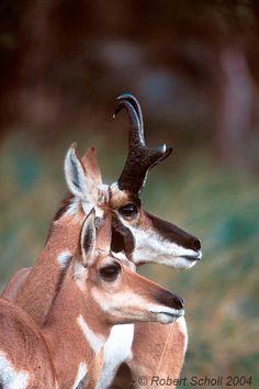 Pronghorn Antelope Buck & Doe.. L'antilocapre (Antilocapra americana) est présente dans le sud de la Saskatchewan et dans certaines parties du sud de l'Alberta. Elle n'est pas considérée comme une =vraie= antilope en raison de ses cornes fourchues qui tombent chaque année,