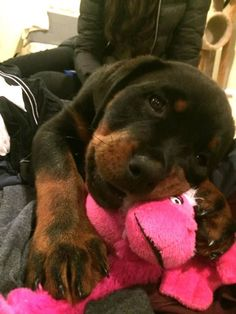 Ruby the Rottweiler and her pink monkey. . .I love my RUBY!!!