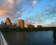 Austin, bats flying at sunset under the congress street bridge..Go get them damn mosquitos