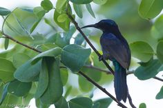 Copper-throated Sunbird (Leptocoma calcostetha) An adult male in a mangrove