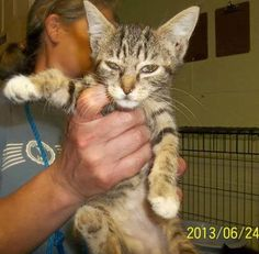30 JUN @PM Z ET- 7TH DAY IN SHELTER .. $110 PLEDGED TO RESCUE SO FAR - NEEDS URGENT NETWORKING TO FIND FUNDING AND RESCUE - SHELTER CAT ROOM IS FILLING AGAIN, 42 CATS LISTED NOW COLUMBUS COUNTY ANIMAL CONTROL, WHITEVILLE, NC SHELTER ID 20375 - TABBY  JUVENILE - SURRENDER 24 JUN - AVAILABLE NOW