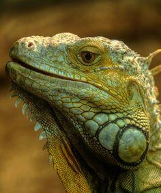 Iguana, HDR by fredzhang