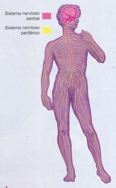 División anatómica del sistema nervioso.