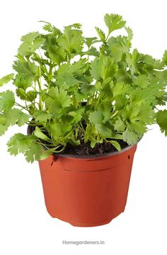 Best time to plant cilantro is the late spring season as it doesn't survive in frosty conditions Easy Garden, Herb Garden, Small Space Gardening, Gardening Tips, Growing Coriander, Cilantro Plant, How To Grow Your Hair Faster, Backyard Vegetable Gardens, Herbs Indoors