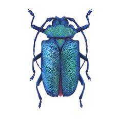 Longicorne métalliques (Charmallaspis pulcherrima).    8 X 10 Giclee sur papier de qualité de conservation sans acide de 310 gr/m², affichant la saturation des couleurs…