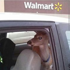 A pet deer hanging out in the backseat of a car: | 19 Unexplainably Random Things You Only See At Walmart