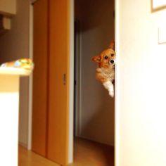 悦子より堂々とした覗き|ω・)笑 ・ ・ ・ #コーギー#犬#ワンコ#PWC48#corgi#corgis #corgigram #corgilife #corgilove #corgination #corgistagram #corgiaddict #corgisofinstagram #dog#dogs #doglife #doglove #doglover #dogstagram #dogoftheday #instagramcorgis #instacorgi #instadog #instagramdog #instagram #instagramjapan