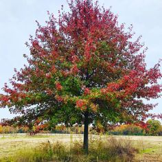 The mighty autumn oak! - #slowflowers #givethanks #locallygrown #consciousliving #womenwhofarm #flowerporn #flowerfarmer #zone6zen #loveyourplanet #gardeningohio #sustainableliving #farmlife #livingsoil #fieldtovase #freshflowers #cutflowers #grownnotflown #farmerflorist #ohiogarden #permaculturefarm #countryliving #organicfarming #regenerativeag #firstgenfarmer #beginnerhood #permaculture #locallygrown #mygarden #pollinators #gardenlife #seedtostem Cut Flowers, Fresh Flowers, Flower Farmer, Organic Farming, Give Thanks, Sustainable Living, Permaculture, Farm Life, Country Living