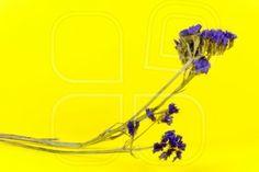 plant, flower, bloom, blossom, flora, dry flowers, purple, yellow background