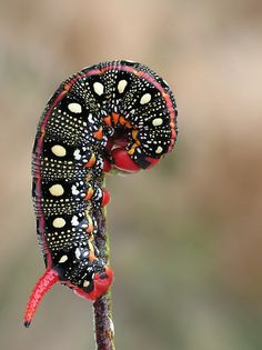 Spurge Hawk-Moth Caterpillar by Marta Grzesiak Reptiles, Cool Insects, Bugs And Insects, Beautiful Bugs, Beautiful Butterflies, Beautiful Creatures, Animals Beautiful, Cool Bugs, Moth Caterpillar