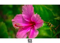 Repost from Instagram ! #WeLike ! #Madinina by @ew_prod  |Shoot By #EwProd  #flower #hibiscus #rose #beautiful #nature #nice #ig_caribbean #ig_martinique #westindies_pictures #Westindies #Antilles #fwi #carribbean #Caraïbes #photography #macro #martinique #madinina #lovecarribean http://ift.tt/1TdQO3E