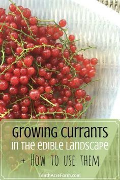 How to Grow and Use Currants Currant bushes are a great addition to the edible landscape. See how we grow them in our front yard landscape, and find out how to use currants in the kitchen. Fruit Garden, Edible Garden, Herbs Garden, Front Yard Landscaping, Backyard Landscaping, Landscaping Ideas, Backyard Ideas, Luxury Landscaping, Landscaping Company
