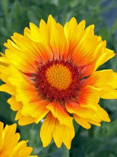 Gaillardia Sunset Sunrise (Blanket Flower) Exceptional long-lasting color and strong stems! Bright yellow layered petals are crowned with peach halos that encircle glowing pincushion centers. Remove faded flowers to encourage new blooms. It thrives in poo Yellow Flowers Names, Perennial Geranium, Native American Blanket, Sandy Soil, Flowers Perennials, Landscaping Tips, Geraniums, Garden Plants, Beautiful Flowers