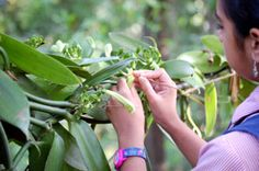 Rainforest Retreat at Mojo Plantation. Vanilla flowers are hand pollinated and the beans are cured manually to yield the amazingly fragrant pods http://www.organicholidays.co.uk/at/909.htm