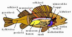 Ruokatieto, kalan rakenne