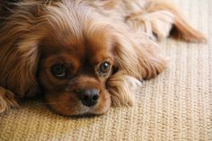 my first love, winston oliver. what a gorgeous ruby cavalier king charles spaniel!!