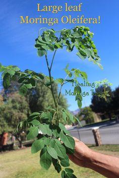 www.HealingMoringaTree.com