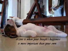 Love is when your beagle's happiness is more important than your own. So True!!!